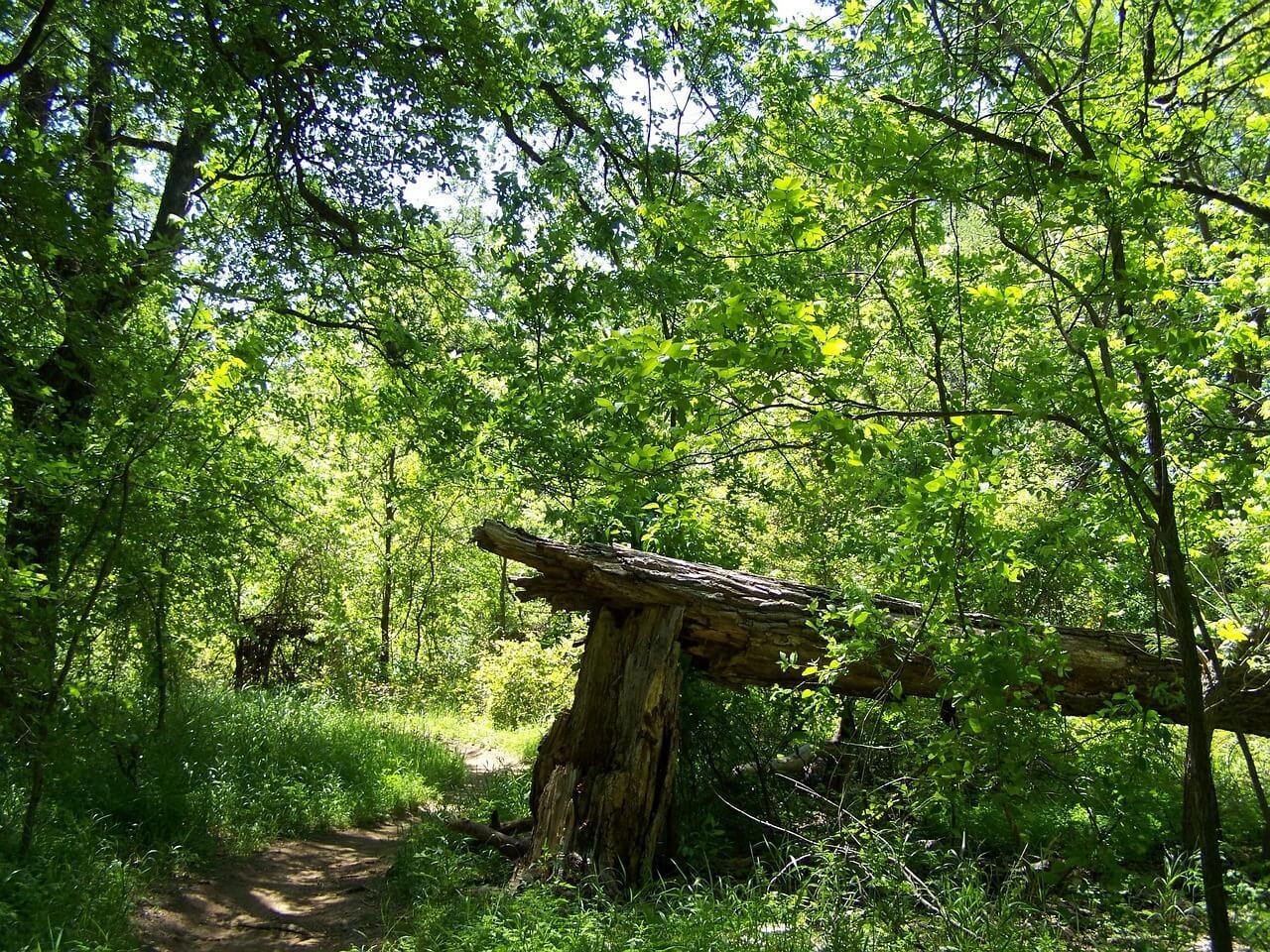 Broken tree fallen in forest
