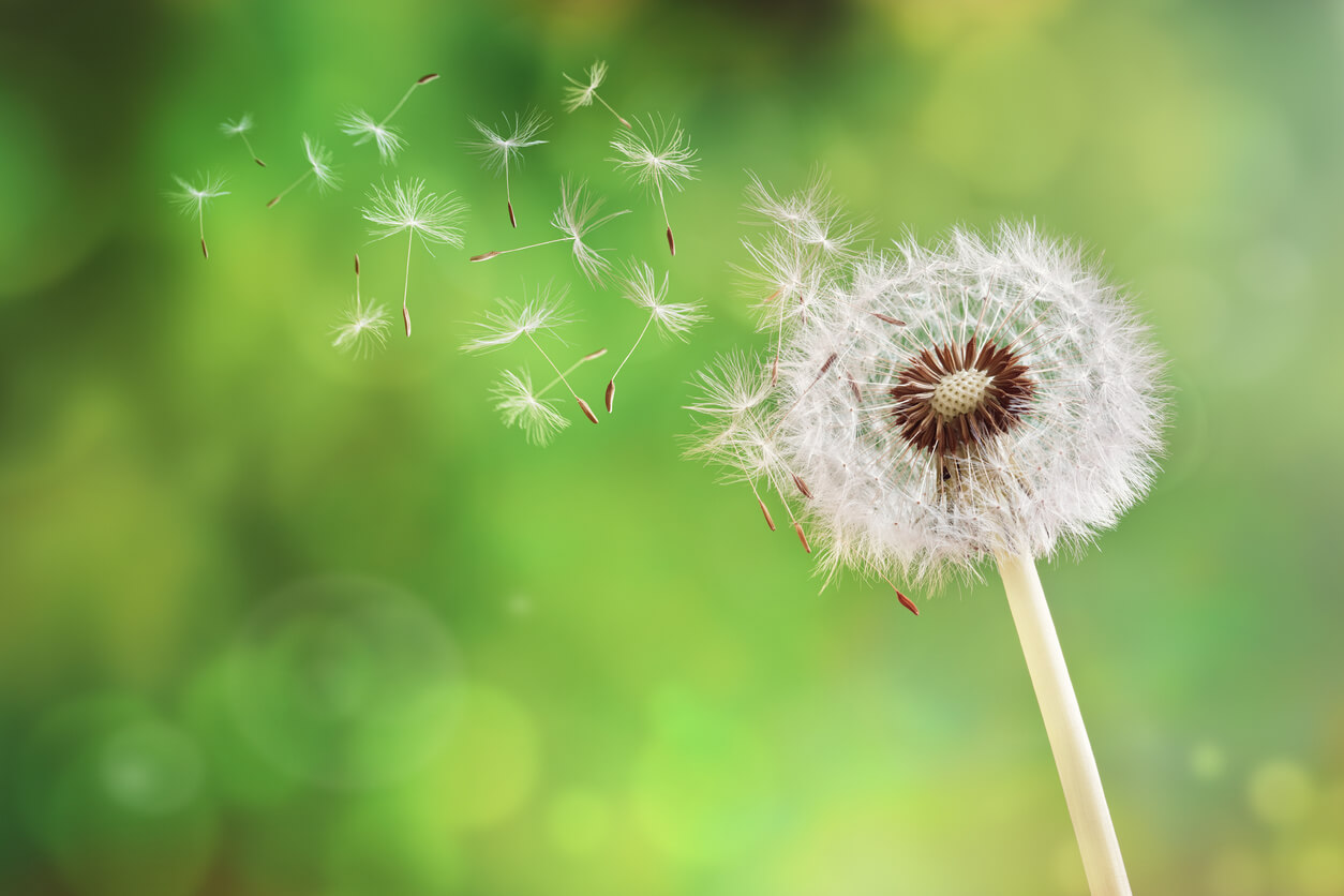 dandelion with seeds blowing off