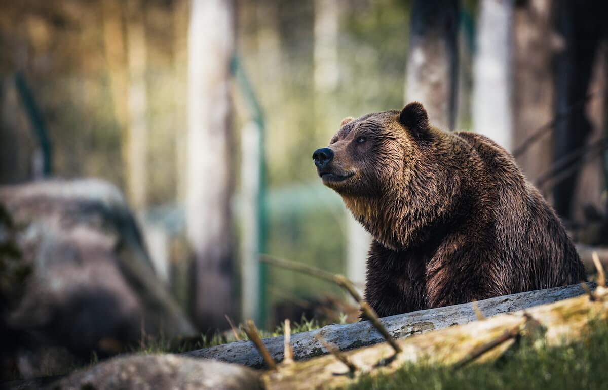 close up photography of grizzly bear